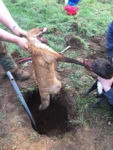 tortured fox