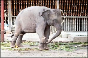 Ganga the elephant