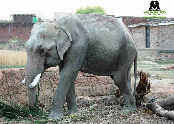 Mohan chained in Lalganj